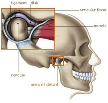 Side-view diagram of the TMJ joint with names of the anatomy included: the mandibular condyle resting in the articular fossa of the skull, the disk and the ligament in between and attached to the musclem, for information on TMJ treatment from Dr. Becker in Hoffman Estates.